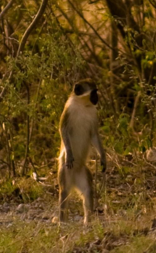 Got monkey?